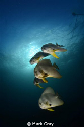 Batfish at the mooring line by Mark Gray 